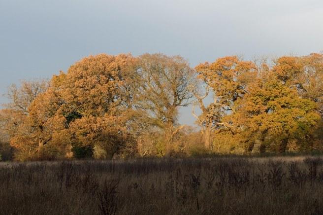 golden-oaks