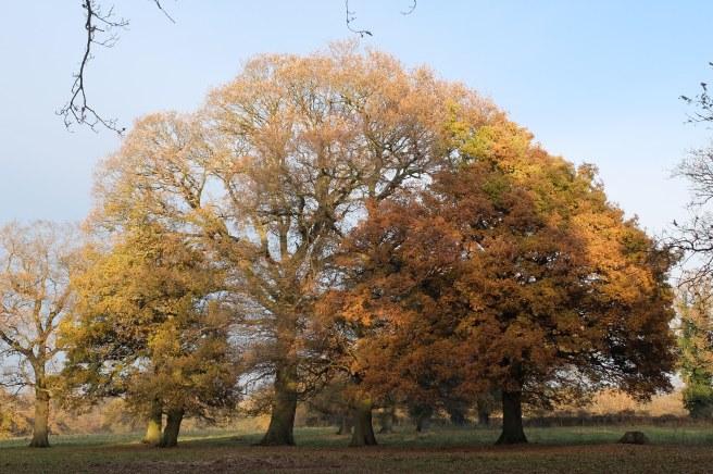 large-oak
