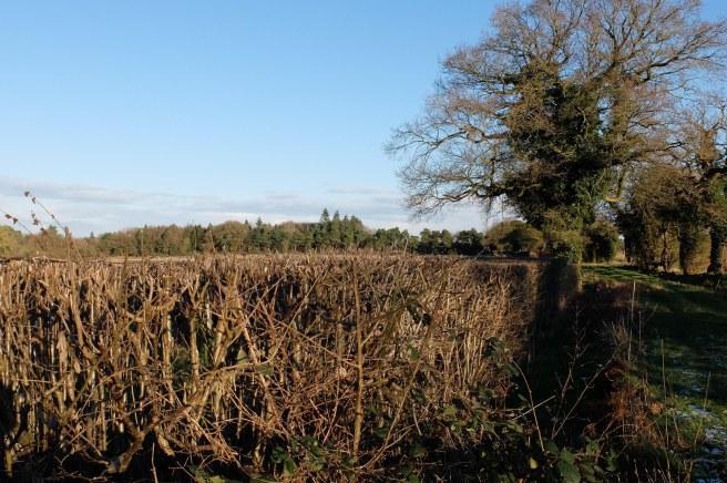 hedges-trimmed