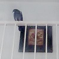 pigeon2-2